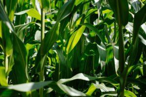 Predsetveno đubrenje kukuruza i suncokreta