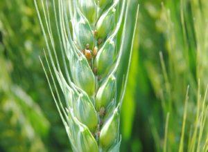 Prvi tretman pšenice fungicidima protiv napada bolesti