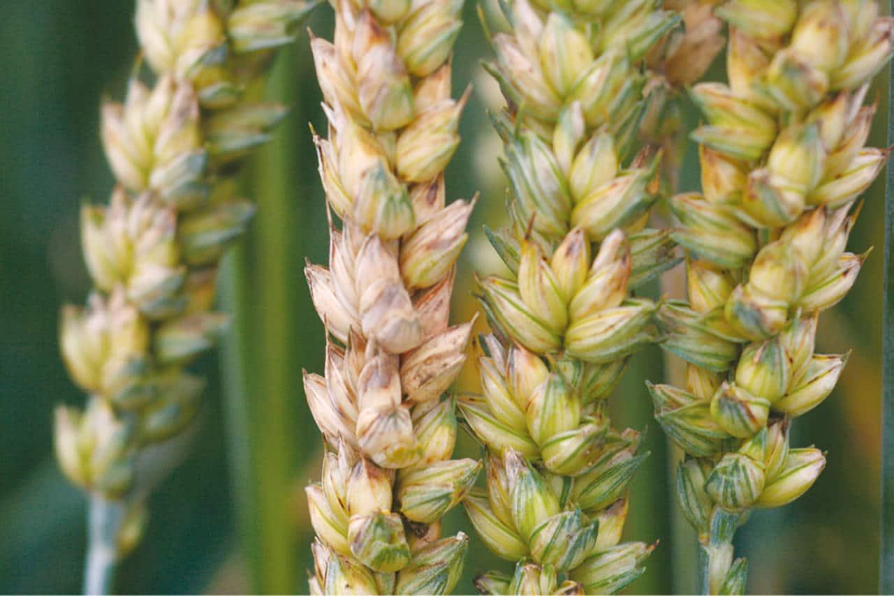 Fuzarioza klasa pšenice