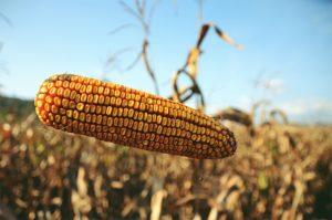 Mere nege kod kukuruza