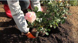 Sadnja ruža